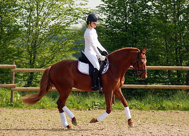 Etalon dressage poney