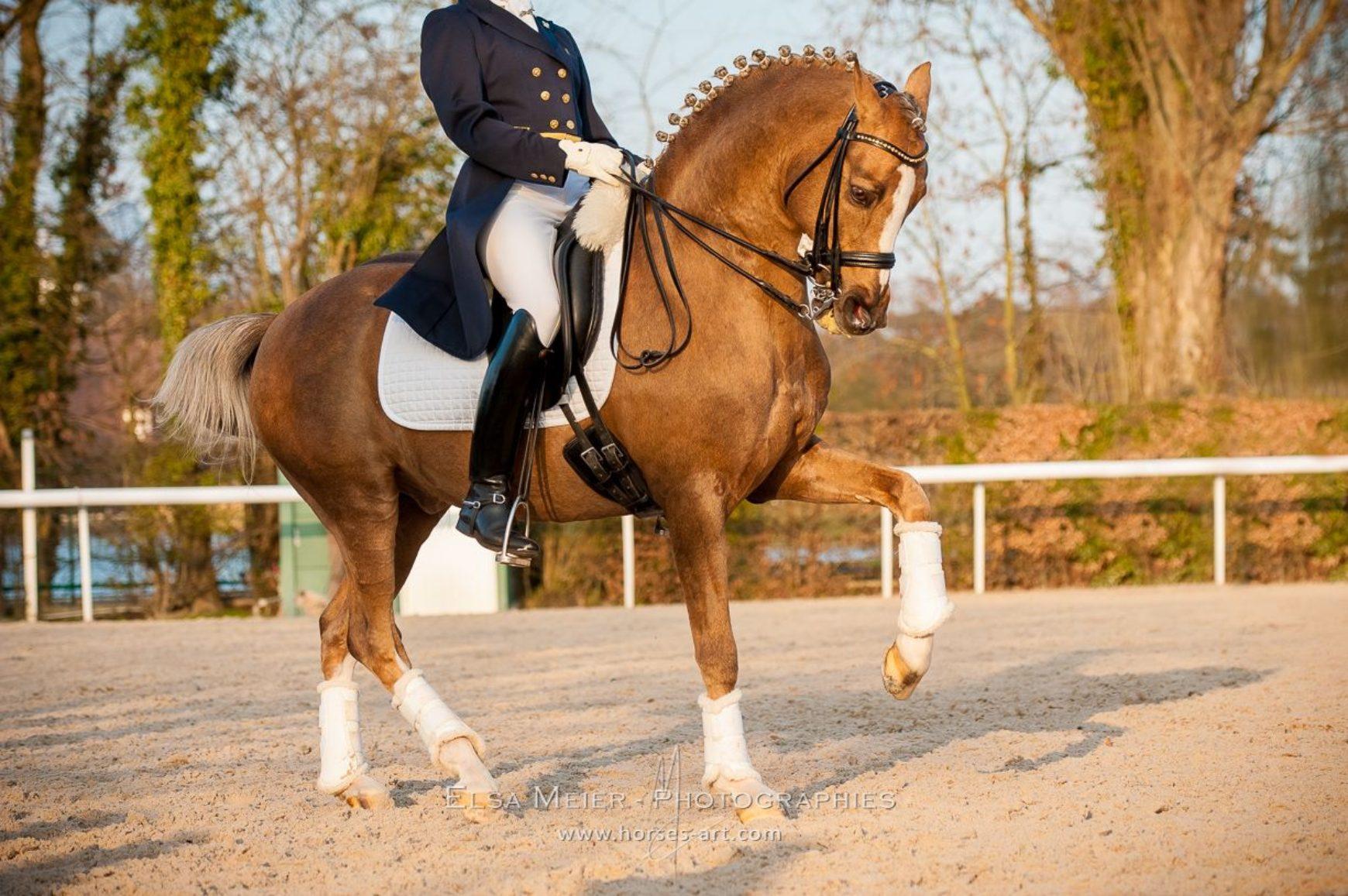 Etalons poneys en France en 2016
