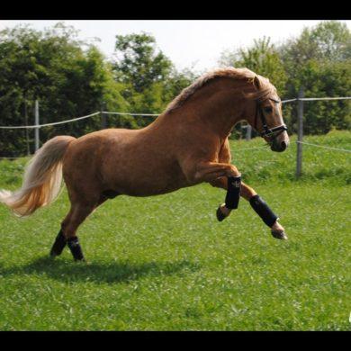 FS Golden moonlight, poney de dressage