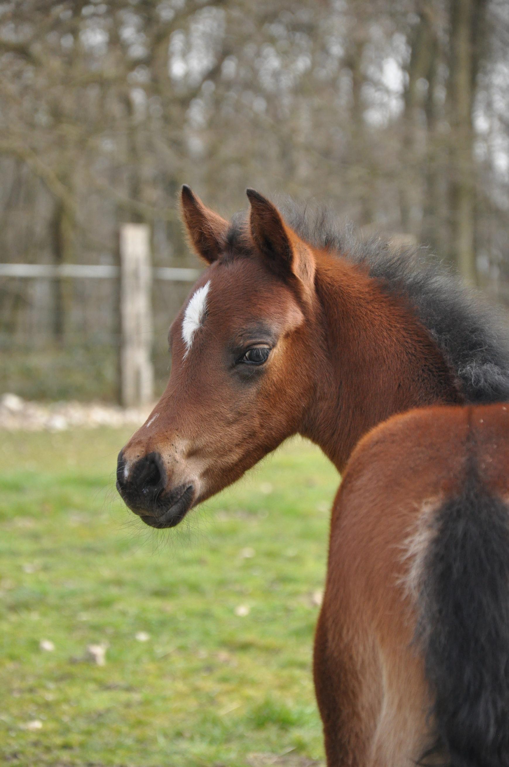 La reproduction du cheval