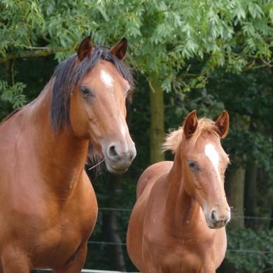 Poneys d'élevage