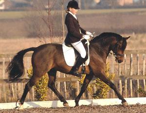 Etalon allemand poney